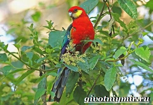 Розелла-попугай-Образ-жизни-и-среда-обитания-попугая-розелла-5