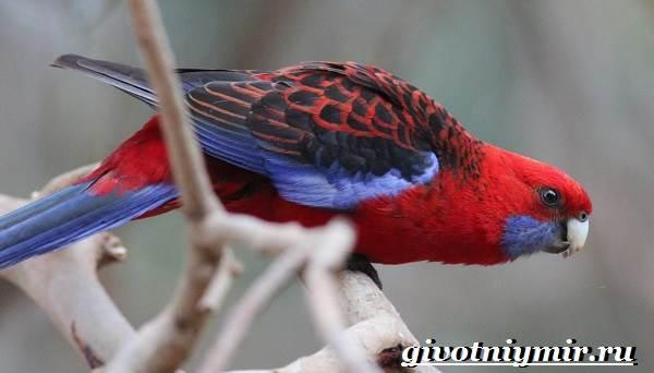 Розелла-попугай-Образ-жизни-и-среда-обитания-попугая-розелла-6