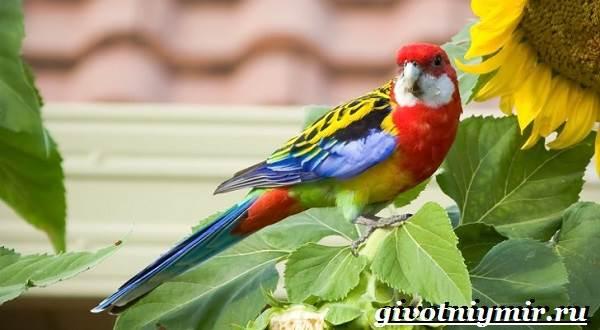 Розелла-попугай-Образ-жизни-и-среда-обитания-попугая-розелла-7