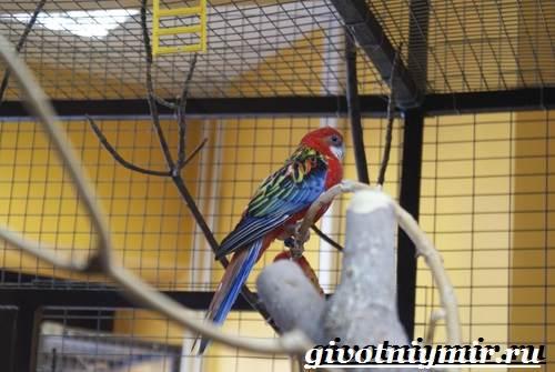 Розелла-попугай-Образ-жизни-и-среда-обитания-попугая-розелла-8