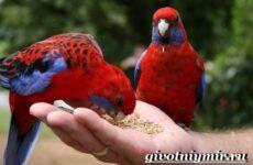 Розелла попугай. Образ жизни и среда обитания попугая розелла