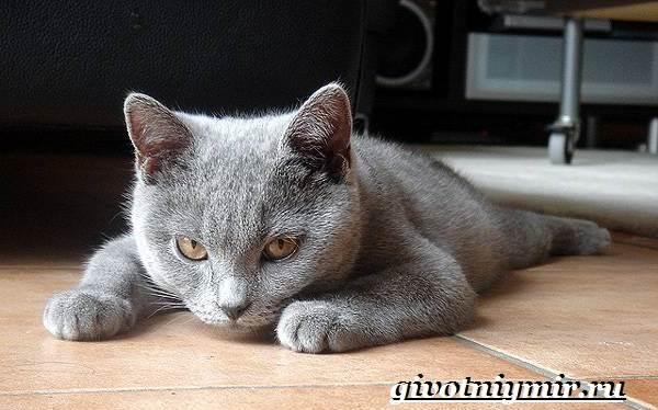 Шартрез-кошка-Описание-особенности-и-уход-за-кошкой-шартрез-1
