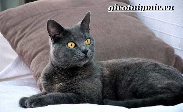 Шартрез-кошка-Описание-особенности-и-уход-за-кошкой-шартрез-10