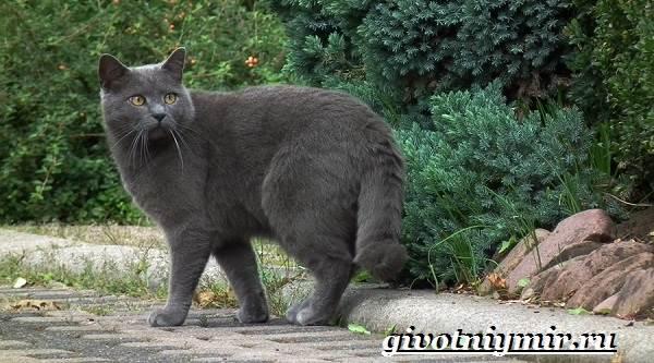Шартрез-кошка-Описание-особенности-и-уход-за-кошкой-шартрез-2