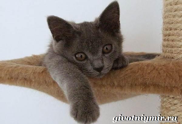 Шартрез-кошка-Описание-особенности-и-уход-за-кошкой-шартрез-3