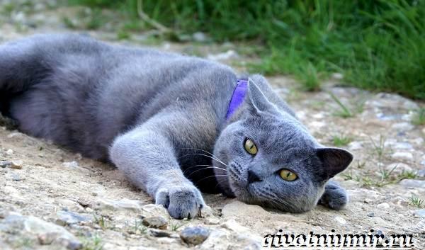 Шартрез-кошка-Описание-особенности-и-уход-за-кошкой-шартрез-4