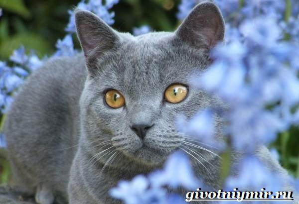 Шартрез-кошка-Описание-особенности-и-уход-за-кошкой-шартрез-5
