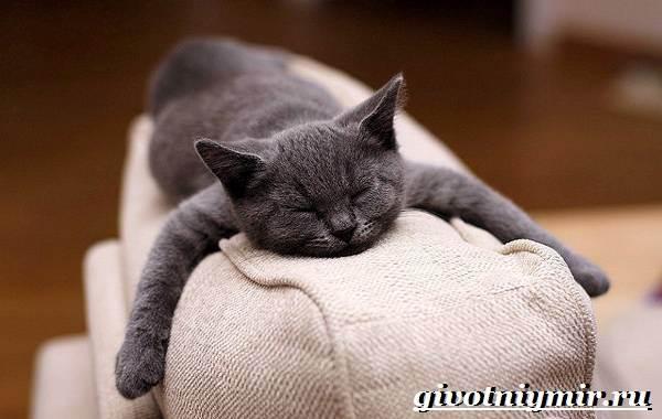 Шартрез-кошка-Описание-особенности-и-уход-за-кошкой-шартрез-6