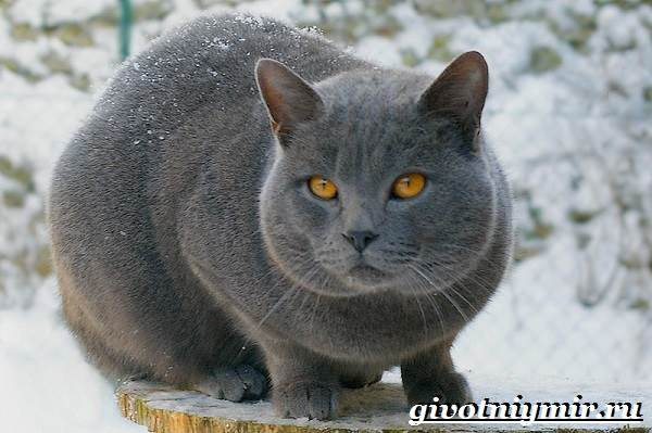 Шартрез-кошка-Описание-особенности-и-уход-за-кошкой-шартрез-7
