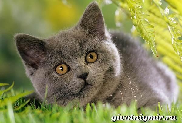 Шартрез-кошка-Описание-особенности-и-уход-за-кошкой-шартрез-8