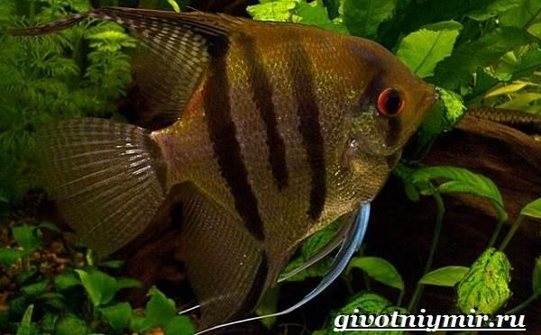 Скалярия-рыба-Особенности-содержание-и-уход-за-скалярией-1