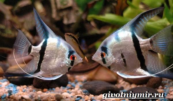 Скалярия-рыба-Особенности-содержание-и-уход-за-скалярией-2