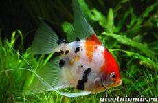 Скалярия рыба. Особенности, содержание и уход за скалярией