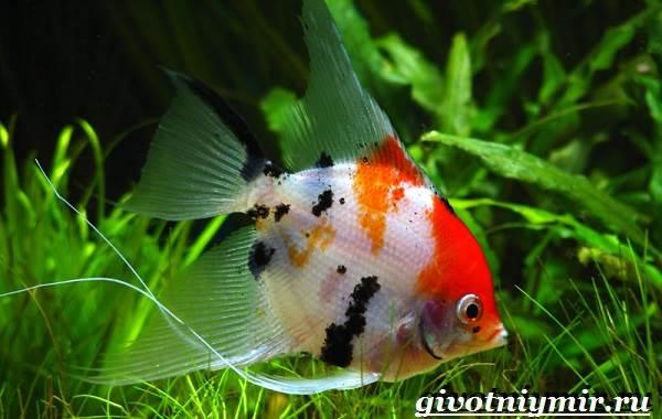 Скалярия-рыба-Особенности-содержание-и-уход-за-скалярией-4