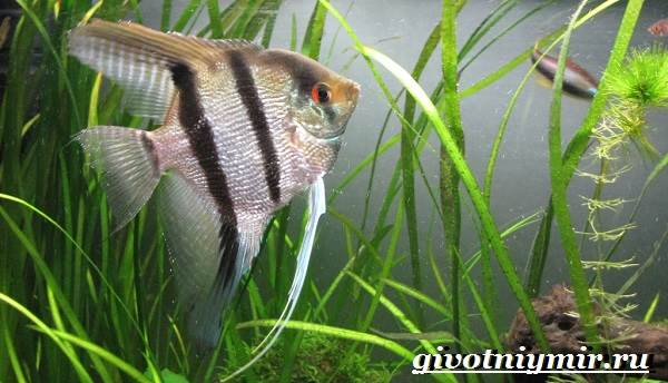 Скалярия-рыба-Особенности-содержание-и-уход-за-скалярией-6