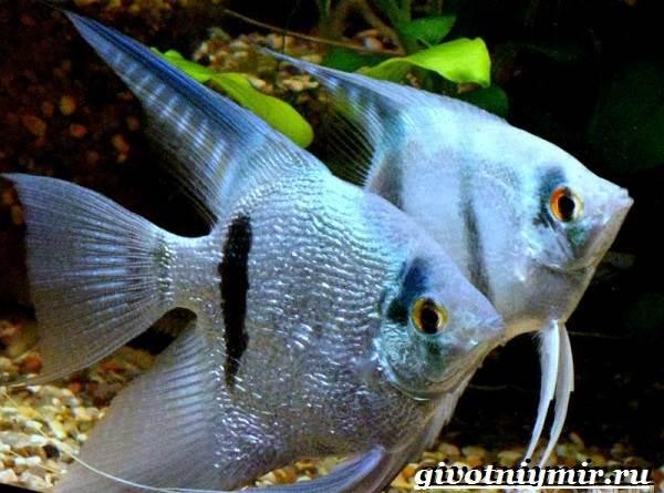 Скалярия-рыба-Особенности-содержание-и-уход-за-скалярией-7