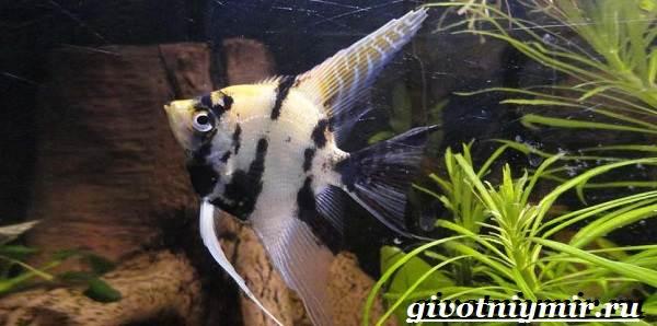 Скалярия-рыба-Особенности-содержание-и-уход-за-скалярией-8