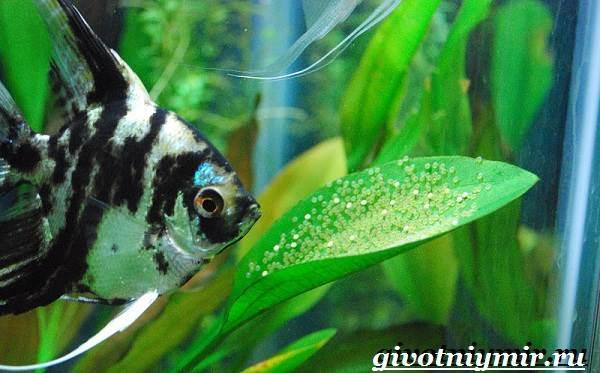 Скалярия-рыба-Особенности-содержание-и-уход-за-скалярией-9