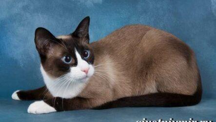 Сноу-шу кошка. Описание, особенности, уход и цена породы сноу-шу