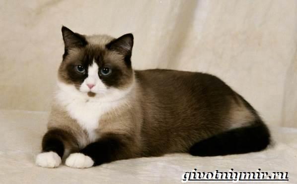 сноу шу фото кошка
