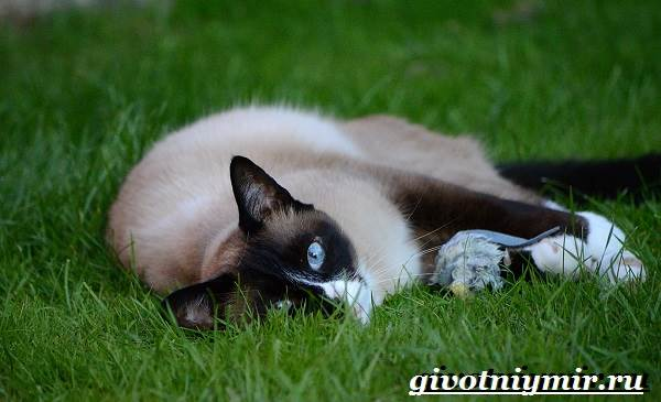 Сноу-шу-кошка-Описание-особенности-уход-и-цена-породы-сноу-шу-6