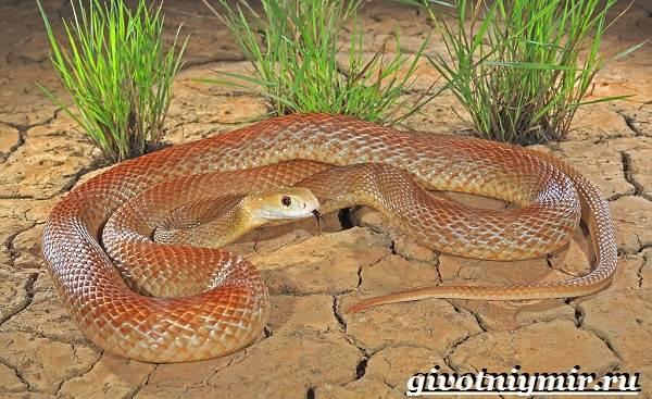 Тайпан-змея-Образ-жизни-и-среда-обитания-змеи-тайпан-1