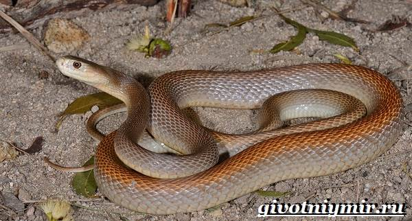 Тайпан-змея-Образ-жизни-и-среда-обитания-змеи-тайпан-2