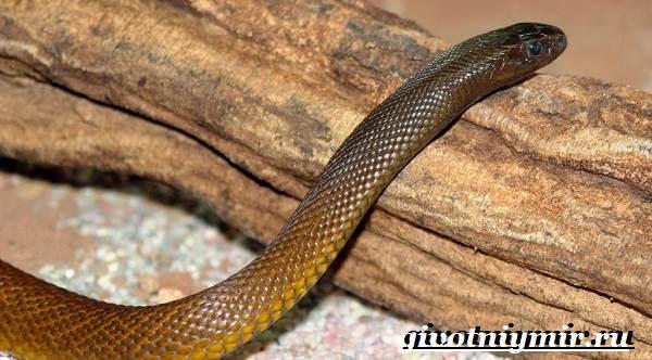 Тайпан-змея-Образ-жизни-и-среда-обитания-змеи-тайпан-3