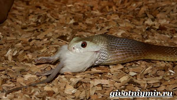 Тайпан-змея-Образ-жизни-и-среда-обитания-змеи-тайпан-6