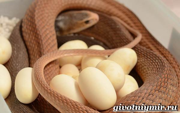 Тайпан-змея-Образ-жизни-и-среда-обитания-змеи-тайпан-7