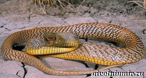 Тайпан-змея-Образ-жизни-и-среда-обитания-змеи-тайпан-8
