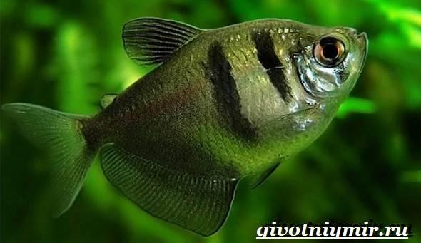 Тернеция-рыба-Особенности-питание-и-содержание-тернеции-в-аквариуме-2