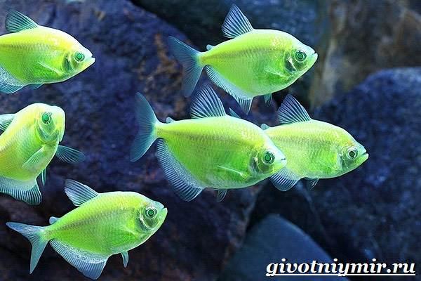 Тернеция-рыба-Особенности-питание-и-содержание-тернеции-в-аквариуме-3