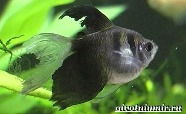Тернеция-рыба-Особенности-питание-и-содержание-тернеции-в-аквариуме-4
