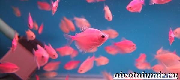 Тернеция-рыба-Особенности-питание-и-содержание-тернеции-в-аквариуме-5