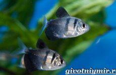 Тернеция рыба. Особенности, питание и содержание тернеции в аквариуме