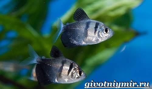 Тернеция-рыба-Особенности-питание-и-содержание-тернеции-в-аквариуме-7