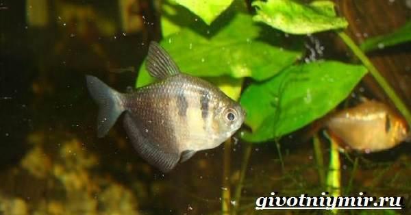 Тернеция-рыба-Особенности-питание-и-содержание-тернеции-в-аквариуме-8