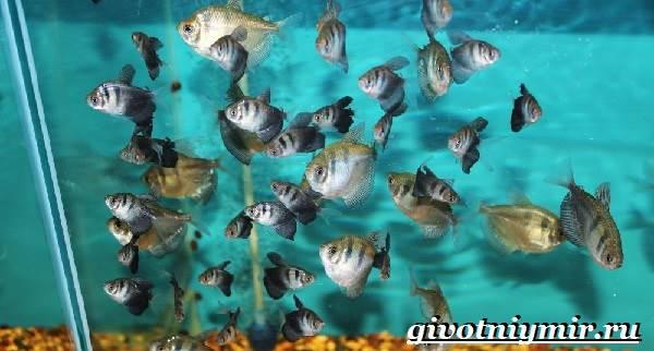 Тернеция-рыба-Особенности-питание-и-содержание-тернеции-в-аквариуме-9