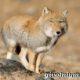 Тибетская лиса. Образ жизни и среда обитания тибетской лисы