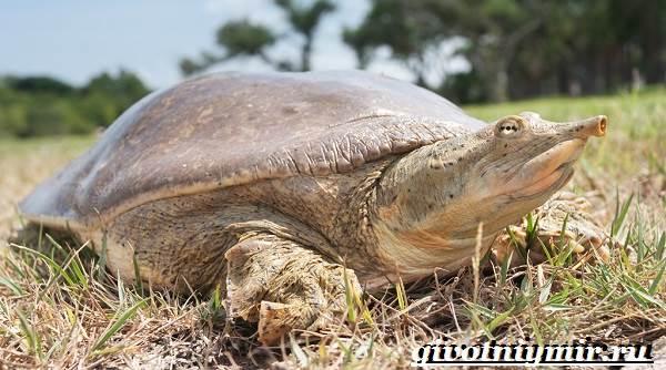 Трионикс-черепаха-Образ-жизни-и-среда-обитания-черепахи-трионикс-1