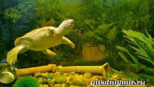 Трионикс-черепаха-Образ-жизни-и-среда-обитания-черепахи-трионикс-3