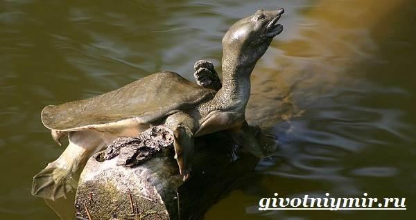 Трионикс-черепаха-Образ-жизни-и-среда-обитания-черепахи-трионикс-5