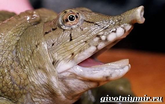 Трионикс-черепаха-Образ-жизни-и-среда-обитания-черепахи-трионикс-6