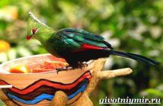 Турако птица. Образ жизни и среда обитания птицы турако