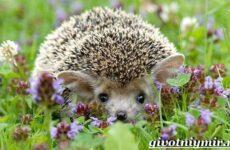 Ушастый еж. Образ жизни и среда обитания ушастого ежа