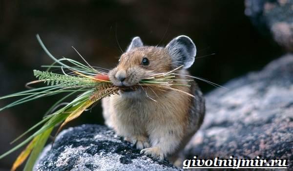 Хомяк-животное-Образ-жизни-среда-обитания-и-уход-за-хомяком-1