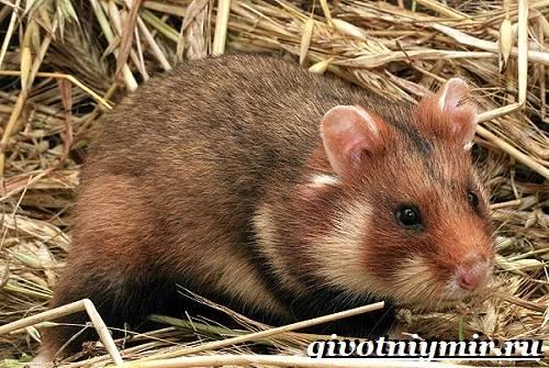 Хомяк-животное-Образ-жизни-среда-обитания-и-уход-за-хомяком-2