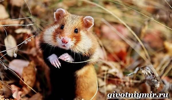 Хомяк-животное-Образ-жизни-среда-обитания-и-уход-за-хомяком-4