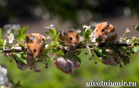 Хомяк-животное-Образ-жизни-среда-обитания-и-уход-за-хомяком-5